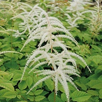 Aruncus sylvester Moisture and Shade Loving Plant