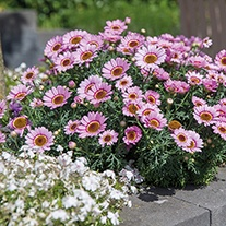 Argyranthemum Grandaisy Flower Plant Collection