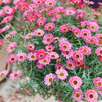 Argyranthemum Grandaisy Orange Red Flower Plants