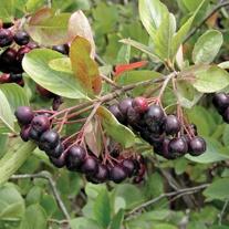 Aronia Berry Plant