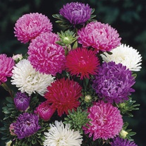 Aster Matador Mixed Flower Plants