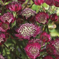 Astrantia Moulin Rouge Plants