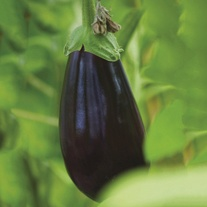 Aubergine (Grafted) Black Pearl F1 Plants