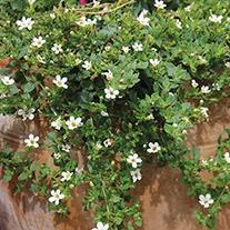 Bacopa Snowtopia Plants