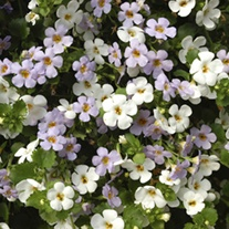 Bacopa Topia Mixed plants