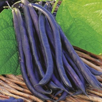 Dwarf French Bean Amethyst Plants