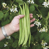 Runner Bean Moonlight Plants