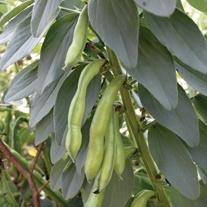 Broad Bean Superaguadulce Veg Plants