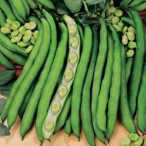 Broad Bean Superaguadulce Plants