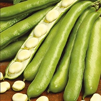 Broad Bean De Monica Plants