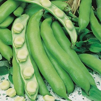 Broad Bean Bunyards Exhibition Plants