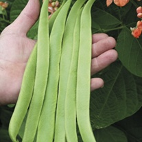Runner Bean Aurora Plants