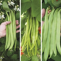 Self Pollinating Runner Bean Collection