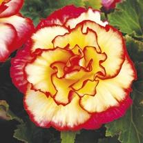 Begonia Majestic Sunburst F1 Plants