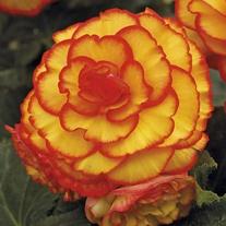 Begonia Picotee Sun Glow Flower Bulbs