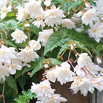 Begonia Illumination White F1 Plants & Baskets