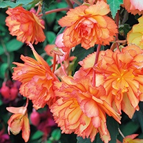 Begonia Illumination Golden Picotee F1 Plants