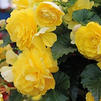Begonia Illumination Lemon F1 Plants & Baskets