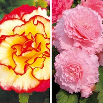 Begonia Majestic Plant Collection