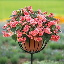 Begonia Sweet Spice English Rose Plants