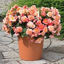 Begonia Fortune Peach Shades F1 Plants