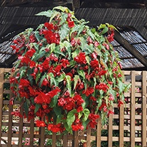 Begonia Illumination Scarlet F1 Plants