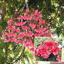 Begonia Funky Pink F1 Plants