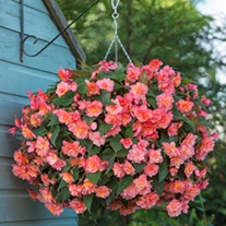 Begonia Sweet Spice Bounty Flower Plants