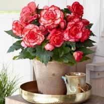 Begonia Amerihybrid Picotee Flamenco Flower Tubers