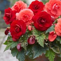 Begonia Amerihybrid Rose Form Flower Tuber Collection