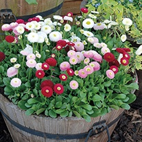 Bellis Bellisima Mixed Plants