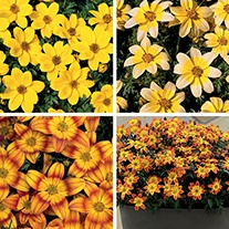 Bidens Plant Collection