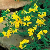 Birds Foot Trefoil Flower Plants