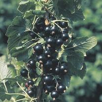 Blackcurrant Ben Connan Fruit Plant