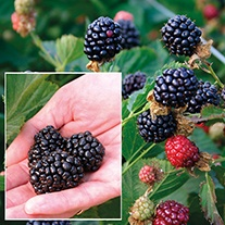 Blackberry Reuben Plant