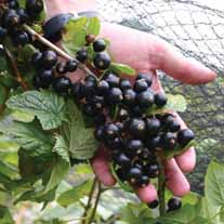 Blackcurrant Big Ben Plant