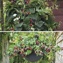 Blackberry Patio collection