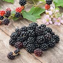 Blackberry Chester Fruit Plant (Floricane)
