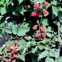 Blackberry TinyBlack Fruit Plant (Primocane)