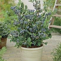 Blueberry Blue Sapphire Plant