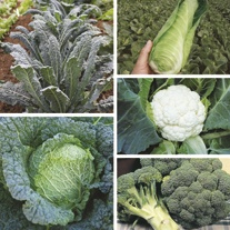 Autumn Harvest Brassica Collection