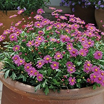 Brachyscome Magenta Delight Plants