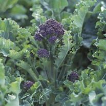 Broccoli Claret F1 Plants
