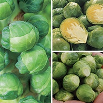 Brussels Sprout Plant Collection