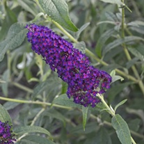 Buddleja Monarch Dark Dynasty plants