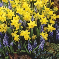 Narcissus and Muscari Bulb Collection
