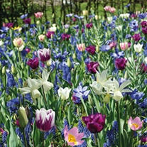 Blue Shades Flower Bulb Collection