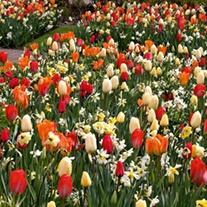 Sunshine Shades Flower Bulb Collection
