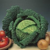Cabbage Traviata F1 AGM Plants