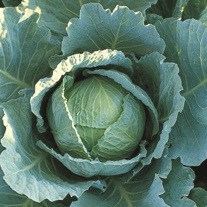 Cabbage Tundra F1 Plants